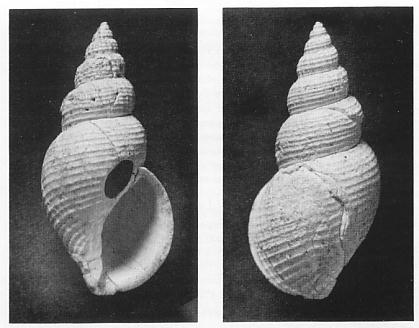 Paper describes a new species of the gastropod Neadmete from the Pliocene of southern California.